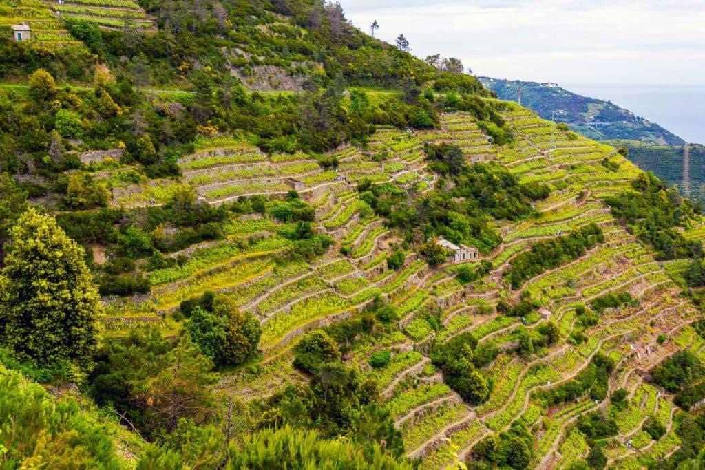 Terraces above Corniglia Cinque Terre